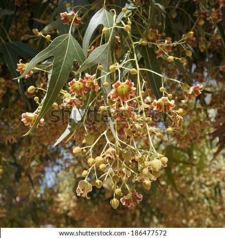 Brachychiton populneus tree blossom - stock photo