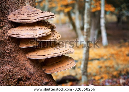 Bracket fungus growing from the stump of a dead beech tree. New Forest, Hampshire, UK