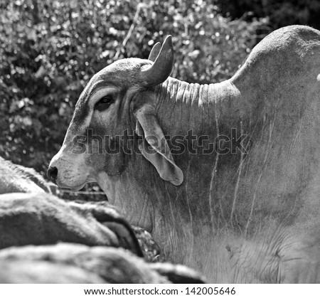 Brahman Bull in Oxapampa, Peru - stock photo