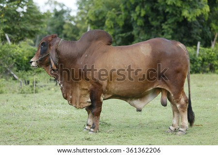 Brahman cattle - stock photo