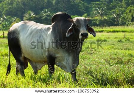 Brahman cattle in a green paddock in Queensland Australia - stock photo