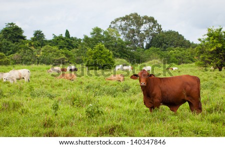 Brahman cattle in a paddock, Queensland, Australia. - stock photo
