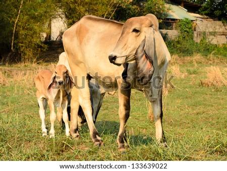 Brahman Cow - stock photo