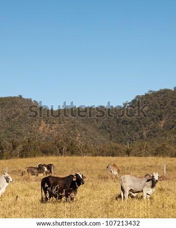 Brahman Cows and sky portrait view Australian pastoral scene - stock photo