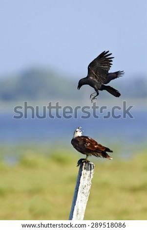 Brahminy kite, attacked by crow in Arugam bay lagoon, Pottuvil, Sri Lanka ; specie Haliastur indus   - stock photo