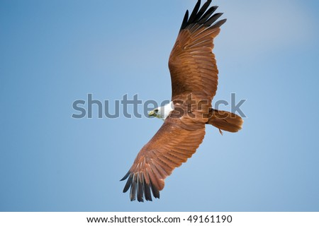 brahminy kite flying - stock photo