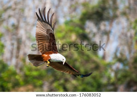 Brahminy kite flying over the water at high speed - stock photo