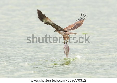 Brahminy kite(Haliastur indus) flying  - stock photo