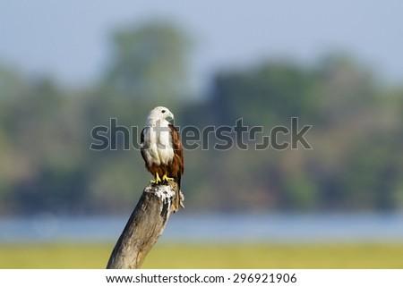 Brahminy kite in Pottuvil, Sri Lanka ; specie Haliastur indus  - stock photo