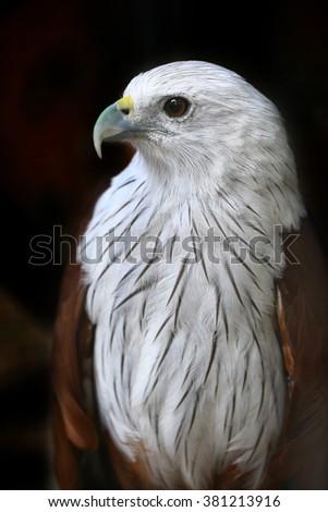 Brahminy Kite Red backed sea eagle - stock photo