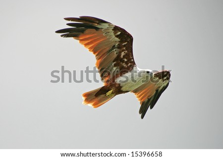Brahminy Kite soaring in the air - stock photo