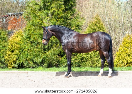 Braided purebred standing on pasturage stallion. Multicolored exterior image. Summertime outdoors. - stock photo