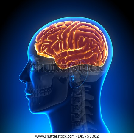 Brain Anatomy - Brain full - stock photo