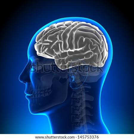 Brain Anatomy - Brain White Blank - stock photo