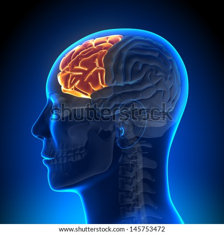 Brain Anatomy - Frontal lobe - stock photo