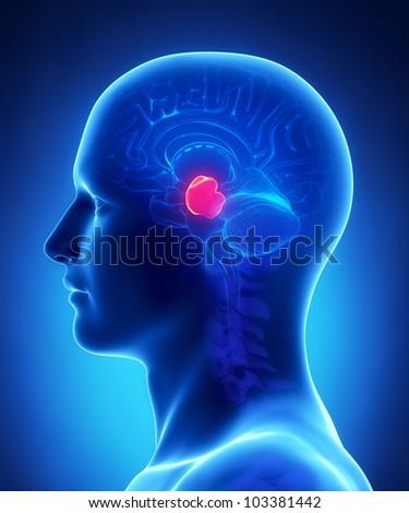 Brain anatomy  MIDBRAIN - cross section - stock photo