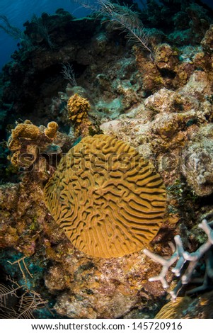 Brain coral growing on the reef - stock photo
