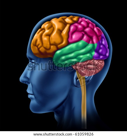 brain lobe sections divisions of mental neurological lobes activity - stock photo