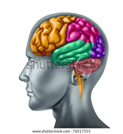 Brain lobe sections with divisions in color representing mental neurological activity of the human organ. - stock photo