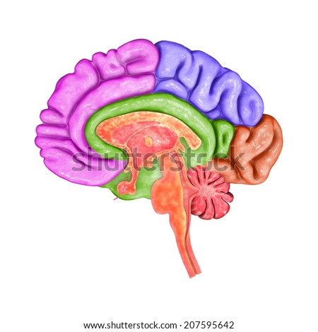Brain parts - stock photo
