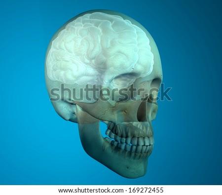 Brain Skull Xray Head Anatomy Stock Illustration 169272455 ...