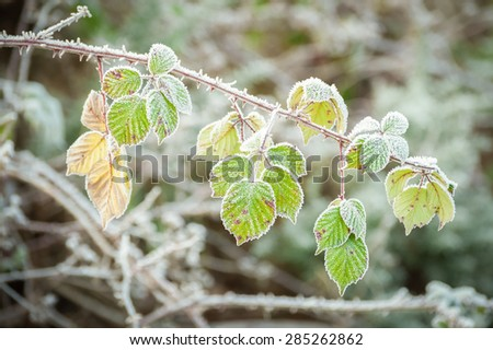 bramble vegetation covered in a layer of frost - stock photo