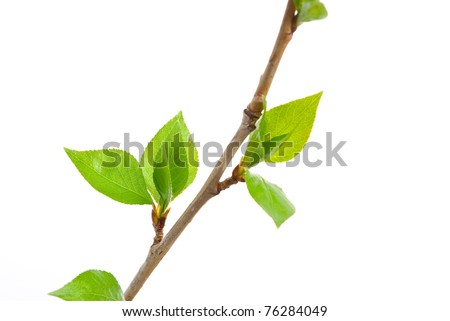 Branch aspen tree with spring buds isolated on white - stock photo
