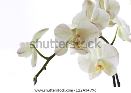 branch beautiful orchids on a white background