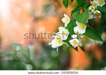 branch blooming jasmine on abstract blurred background - stock photo