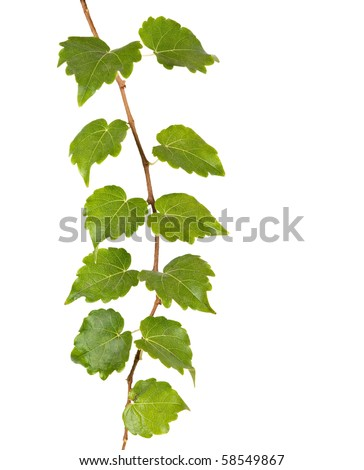 Branch isolated on white