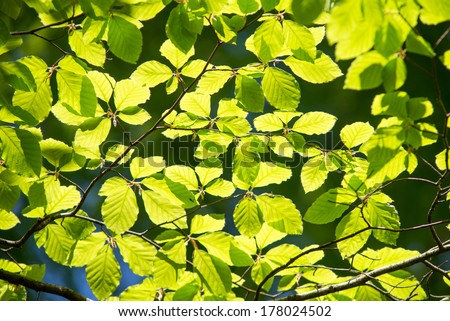 Branch of a beech tree with leaves in spring on a sunny day - stock photo