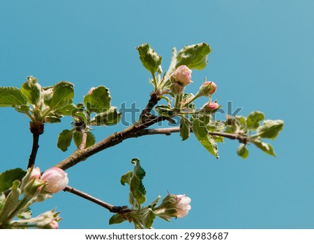 Branch of a blossoming apple-tree against the blue sky