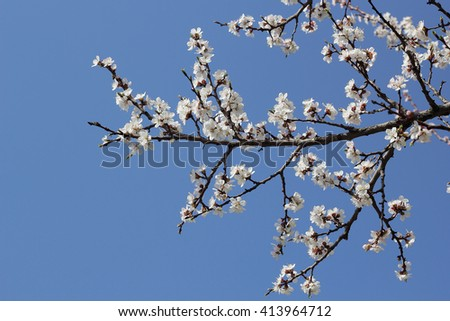 branch of a blossoming apricot against the blue sky - stock photo