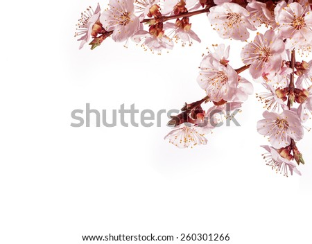 branch of a blossoming tree on a white background.