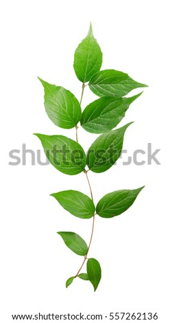 branch of a green plant isolated on white background.
