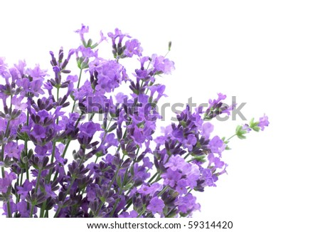 Branch of a lavender isolated on a white background