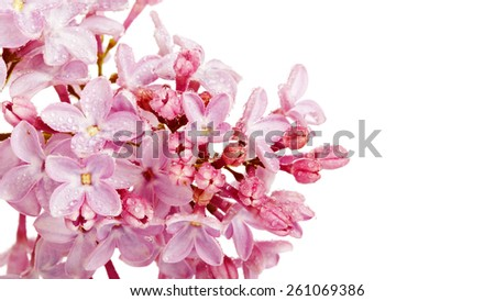 Branch of a lilac lilac on a white background. - stock photo