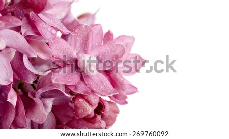 Branch of a lilac lilac on a white background. Syringa vulgaris. - stock photo