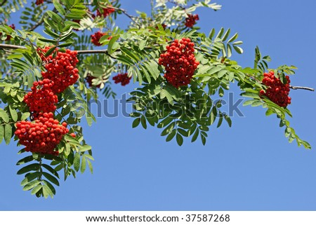 Branch of a mountain ash with red berries against the blue sky