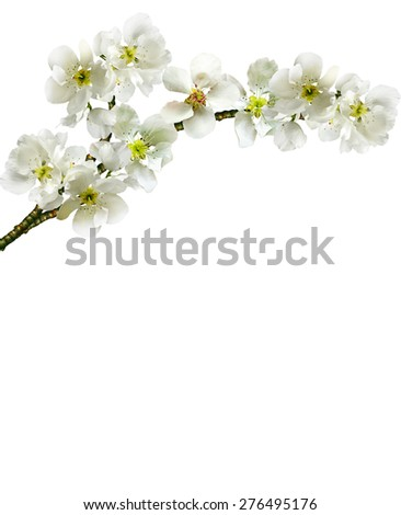 branch of apple blossom - stock photo