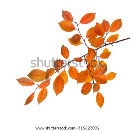Branch of autumn leaves (Cherry plum) isolated on a white background. - stock photo