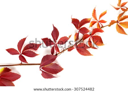 Branch of autumn multicolor grapes leaves. Parthenocissus quinquefolia foliage. Isolated on white background. - stock photo