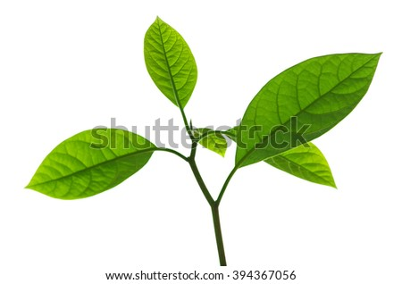 Branch of avocado tree isolated on white background - stock photo