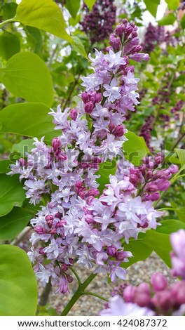 Branch of beautiful blossoming lilac - stock photo