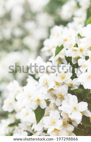 Branch of beautiful jasmine flowers blooming in spring - stock photo