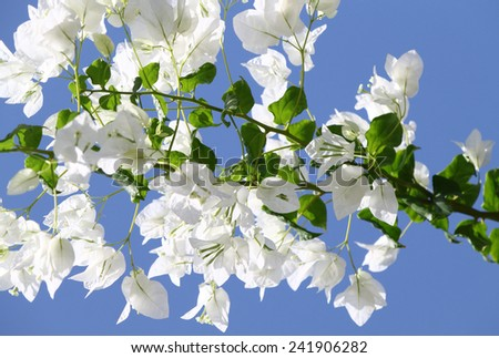 Branch of beautiful white bougainvillea flowers on blue sky background - stock photo