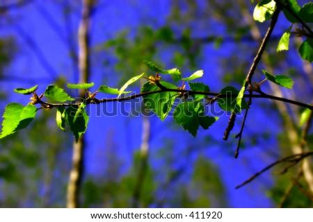 branch of birch. more in portfolio - stock photo
