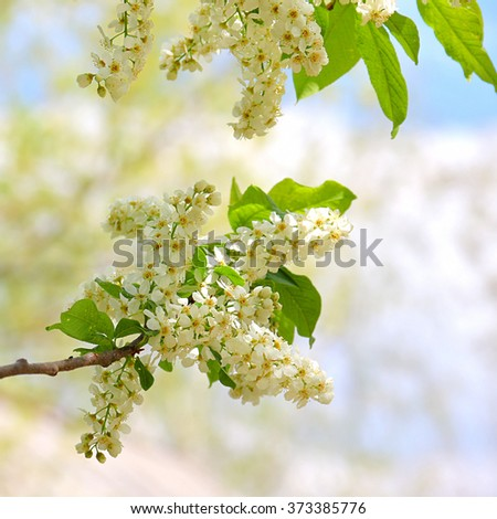 Branch of bird cherry in blooming period. Spring is coming. Shallow depth of field, blurred natural background, focus on flowers - stock photo