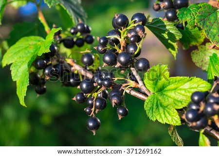 Branch of black currant in the garden - stock photo
