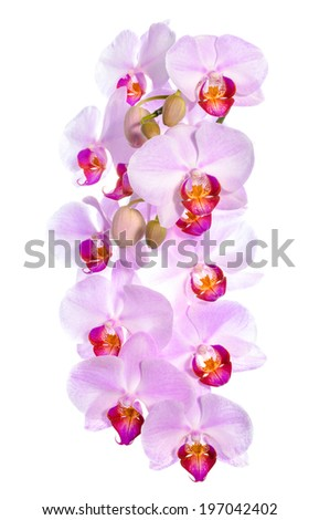 Branch of blooming gentle pink orchid flower, phalaenopsis is isolated on white background